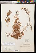 view Berberis chilensis J.M. Gillet digital asset number 1
