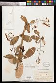 view Berberis grandiflora Turcz. digital asset number 1