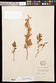 view Berberis ruscifolia Lam. digital asset number 1