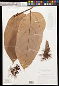 view Theobroma speciosum Willd. ex Spreng. digital asset number 1