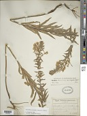 view Oenothera clelandii W. Dietr., P.H. Raven & W.L. Wagner digital asset number 1