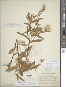 view Oenothera fruticosa subsp. tetragona (Roth) W.L. Wagner digital asset number 1
