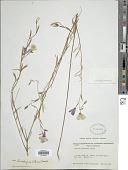 view Clarkia dudleyana (Abrams) J.F. Macbr. digital asset number 1