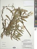 view Oenothera riparia Nutt. digital asset number 1