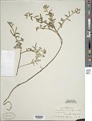 view Oenothera humifusa Nutt. digital asset number 1