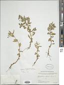 view Epilobium royleanum Hausskn. digital asset number 1