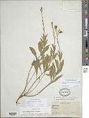 view Oenothera hispida (Benth.) W.L. Wagner et al. digital asset number 1