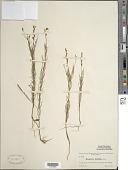 view Oenothera linifolia Nutt. digital asset number 1
