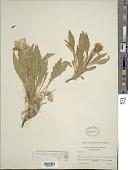 view Oenothera cespitosa subsp. marginata (Nutt. ex Hook. & Arn.) Munz digital asset number 1