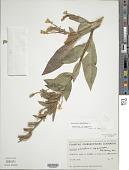 view Oenothera parviflora L. digital asset number 1