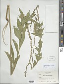 view Oenothera curtiflora W.L. Wagner & Hoch digital asset number 1