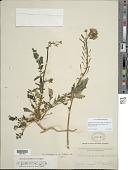 view Chylismia claviformis subsp. peeblesii (Munz) W.L. Wagner & Hoch digital asset number 1