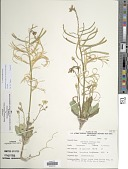 view Chylismia brevipes (A. Gray) Small subsp. brevipes digital asset number 1