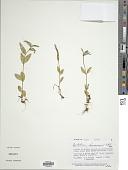 view Epilobium hornemannii Rchb. digital asset number 1