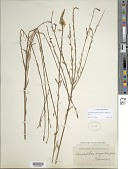 view Oenothera glaucifolia W.L. Wagner & Hoch digital asset number 1