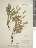 view Oenothera macrocarpa Nutt. subsp. macrocarpa digital asset number 1