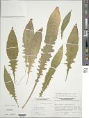 view Oenothera grandiflora L'Hér. digital asset number 1