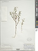 view Oenothera laciniata Hill digital asset number 1