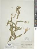 view Oenothera elata subsp. hirsutissima (A. Gray ex S. Watson) W. Dietr. digital asset number 1