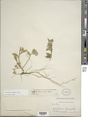 view Oenothera drummondii Hook. subsp. drummondii digital asset number 1