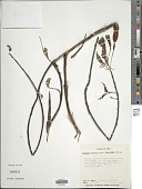 view Fuchsia chloroloba I.M. Johnst. digital asset number 1