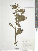 view Fuchsia andrei I.M. Johnst. digital asset number 1