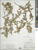 view Fuchsia cylindracea Lindl. digital asset number 1
