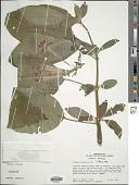 view Fuchsia boliviana Carrière digital asset number 1