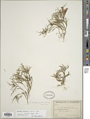 view Oenothera dissecta A. Gray ex S. Watson digital asset number 1