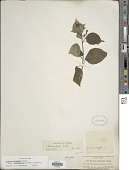 view Fuchsia encliandra subsp. tetradactyla (Lindl.) Breedlove digital asset number 1