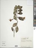 view Fuchsia ampliata Benth. digital asset number 1