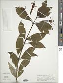 view Fuchsia denticulata Ruiz & Pav. digital asset number 1