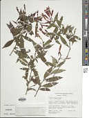 view Fuchsia lehmannii Munz digital asset number 1