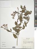 view Fuchsia abrupta I.M. Johnst. digital asset number 1