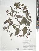 view Fuchsia orientalis P.E. Berry digital asset number 1