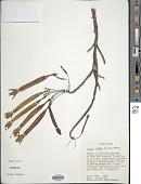view Fuchsia inflata Schulze-Menz digital asset number 1
