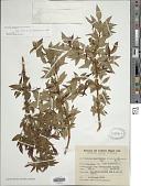 view Fuchsia magellanica Lam. digital asset number 1