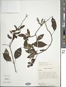 view Fuchsia gehrigeri Munz digital asset number 1