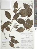 view Fuchsia paniculata Lindl. subsp. paniculata digital asset number 1