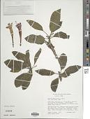 view Fuchsia apetala Ruiz & Pav. digital asset number 1