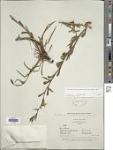 view Oenothera villaricae W. Dietr. digital asset number 1