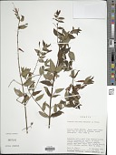view Fuchsia coccinea Dryand. digital asset number 1