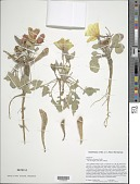 view Oenothera xylocarpa Coville digital asset number 1