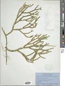 view Lycopodium clavatum subsp. clavatum L. digital asset number 1