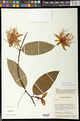 view Passiflora acuminata DC. digital asset number 1