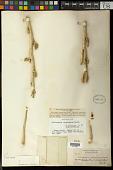 view Pedilanthus macrocarpus Benth. digital asset number 1