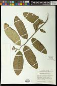 view Pedilanthus palmeri Millsp. digital asset number 1