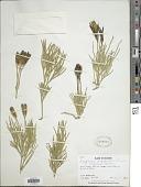 view Lycopodium thyoides Humb. & Bonpl. ex Willd. digital asset number 1