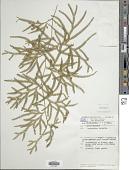 view Lycopodium volubile G. Forst. digital asset number 1