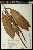 view Ischnosiphon petiolatus (Rudge) L. Andersson digital asset number 1